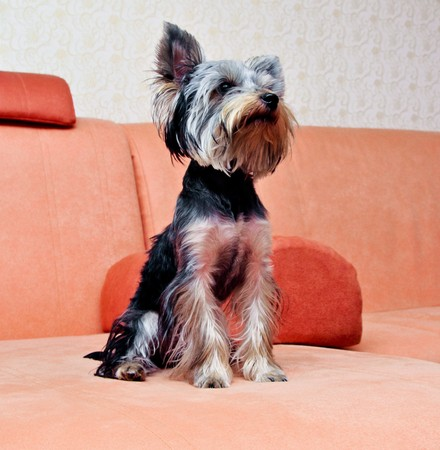 Small puppy yorkshire a terrier curious Stock Photo - 7976423