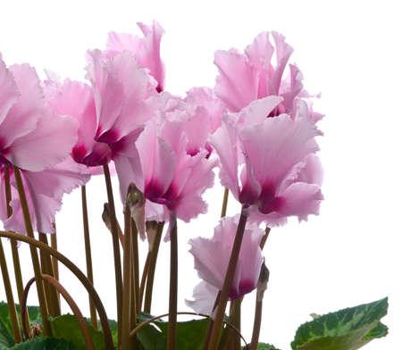 Beautiful bouquet of gentle colors Cyclamen