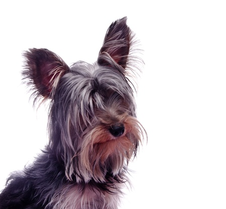 Small puppy yorkshire a terrier curious photo