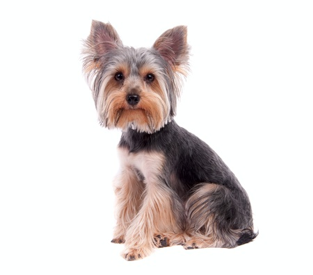Small puppy yorkshire a terrier curious