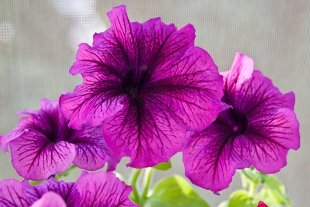 blooming. purple: Beautiful bouquet of gentle colors Petunia