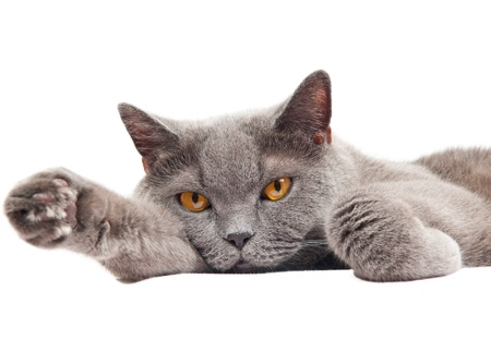 Grey thoroughbred cat on white background