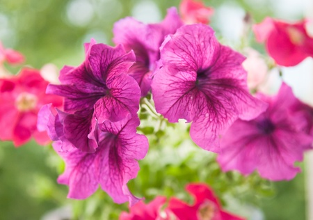 Beautiful bouquet of gentle colors Petunia  photo