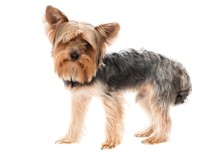 silky terrier: Yorkshire is a young pup on white background