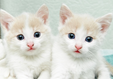 funny little white kitten with blue eyes photo