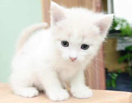 funny little white kitten with blue eyes