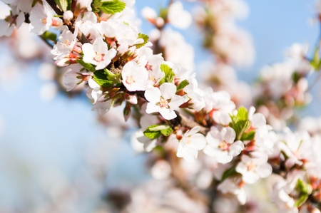 flowering cherry tree in early spring Stock Photo - 13529089