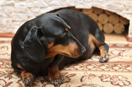 Dachshund dog is at home on carpet