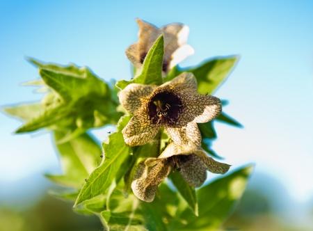 wild-growing poisonous herb Hyoscyamus