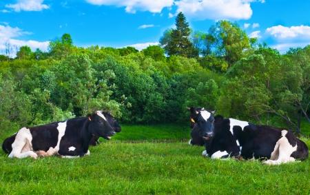 cow grazes on green meadow