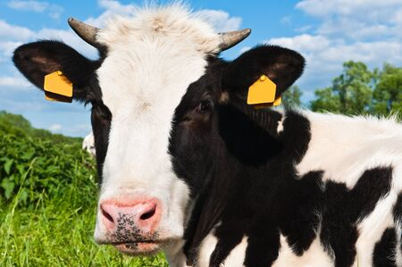 dairy cow: cow grazes on green meadow