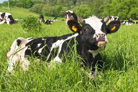 cow grazes on green meadow photo