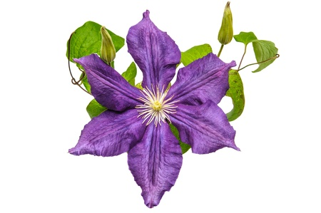 Purple clematis flower on a white background photo