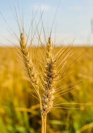 ears of wheat on blue sky background photo