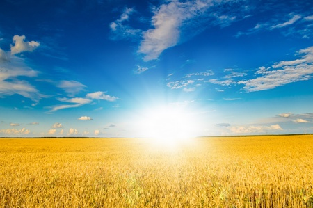 wheat field landscape at sunrise photo