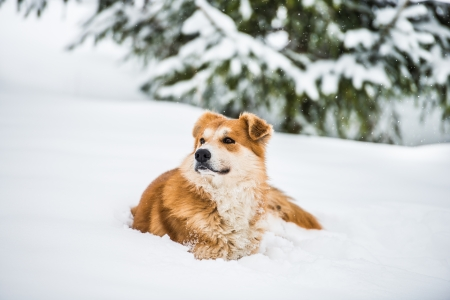 big red dog in the snow in the forest photo