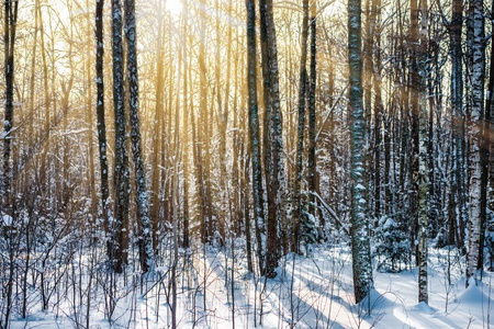 landscape winter forest with rays of sun photo