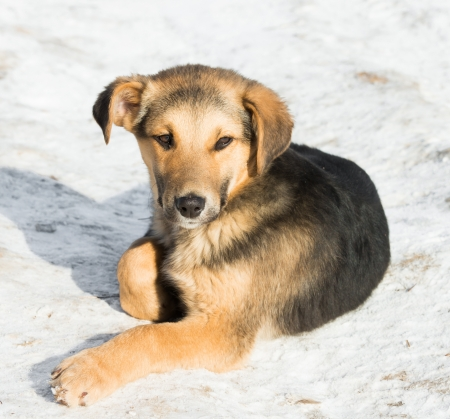 one melenko without purebred puppy lying in the snow photo