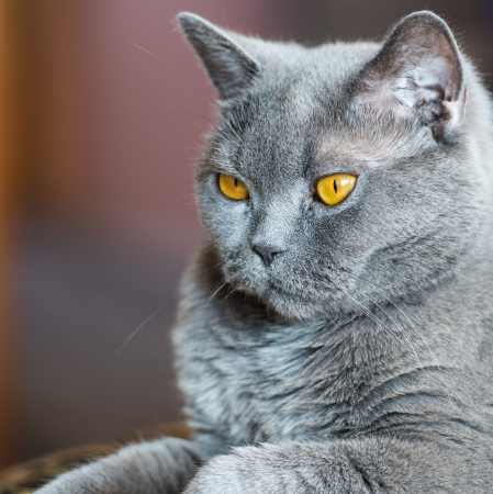 Portrait of an adult cat British breed with yellow eyes photo