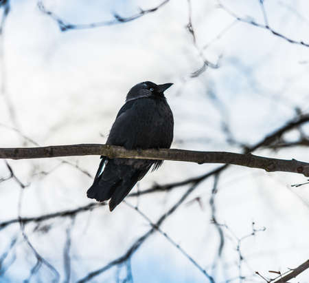 young black rook is sitting on a tree branch photo