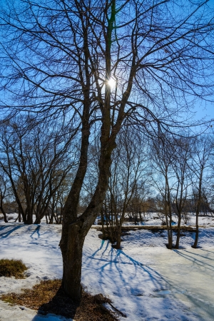 thawed: Vesa tree early in the thawed snow in March Stock Photo