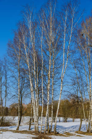thawed: birch thawed snow in early spring on a background of blue sky