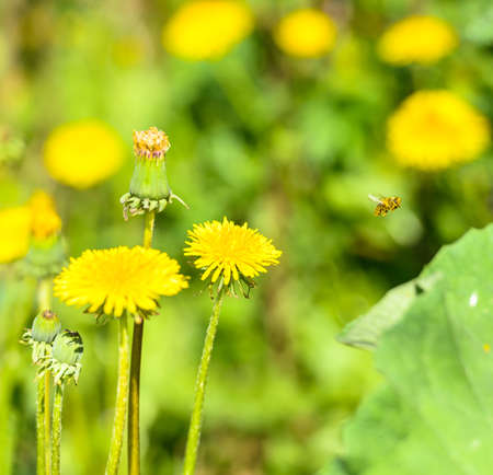 yellow flower dandelion on a background of green grass photo