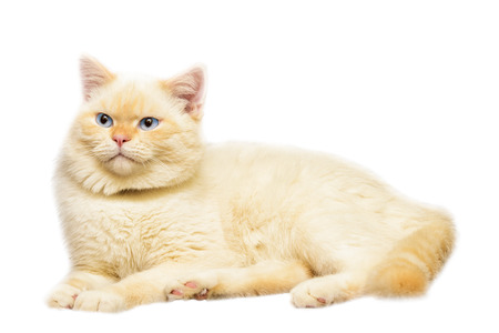 house cat peach color with blue eyes on white  photo