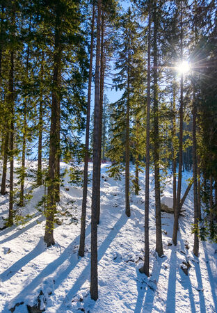 Mountain landscape in sunny winter frosty day with blue clear sky.  Coniferous trees grow on the slopes lit sun photo