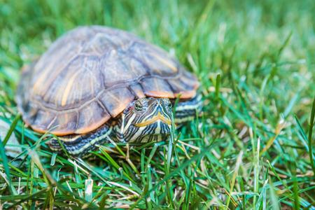 terrapin: tartaruga nel guscio seduta sull'erba verde