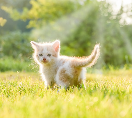 ludicrous: funny little white kitten with blue eyes