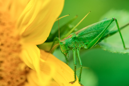the antennae: big green grasshopper with long antennae on a leaf Stock Photo
