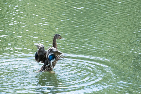 wild duck flies up from lake water Stock Photo