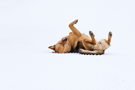 pedigreed: without pedigreed red dog having fun playing in the snow
