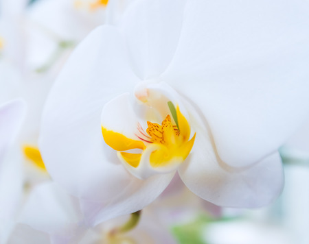 phalaenopsis: beautiful white  orchid flower bouquet sun shines brightly