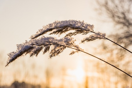 frigid: The plant on a meadow is covered by frosty hoarfrost