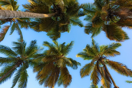 subtropical: view of the top of a palm tree blue sky suns rays