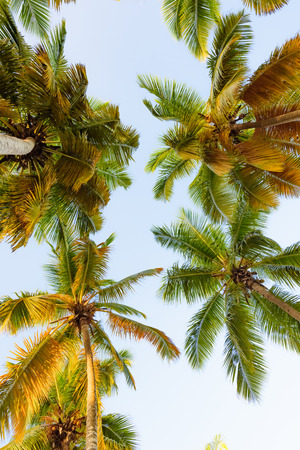 view of the top of a palm tree blue sky suns rays