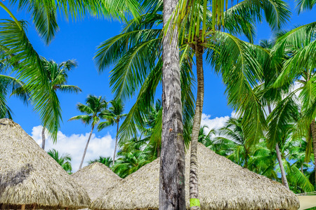 hut roof of palm leaves in a grove of coconut trees Stock Photo