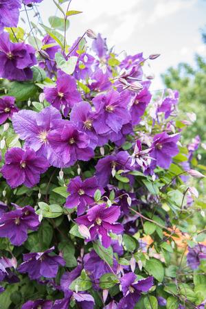 bush blooming klimatis in the sky