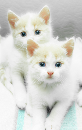 funny little white kitten with blue eyes fur white with red