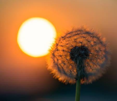 blown dandelion flower against the setting sun Imagens