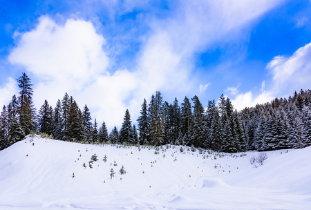 coniferous trees in winter are covered with snow in the mountains