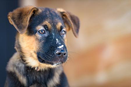 little purebred German Shepherd puppy playing in the winter snow Reklamní fotografie