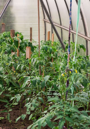 the arch of the greenhouse tomato seedlings in early spring Archivio Fotografico