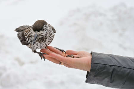 motley bird nutcracker takes nuts from his hand