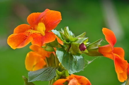 Bunch of orange monkey flowers with a bud