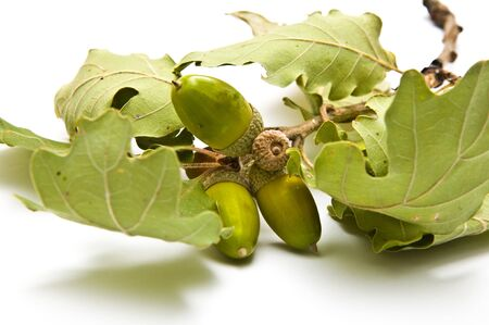 Acorns on a branch side view isolated on white Stock Photo - 10848199