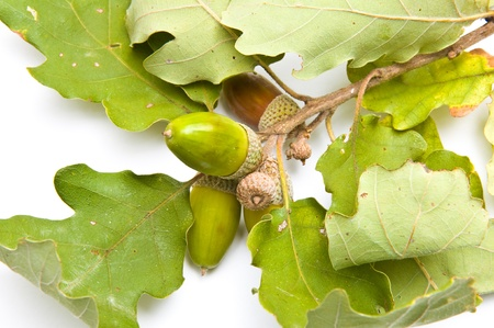 Acorns on a branch top view isolated on white Stock Photo - 10848210