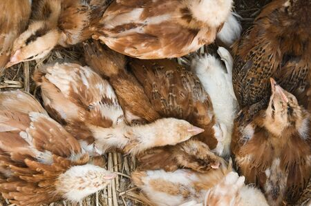 Young chicken group resting on each other